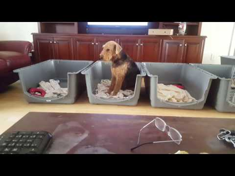 Airedale Terrier Puppies for Sale Video - S & S Family Airedales - Adult Airedale Curly, Why Flop?