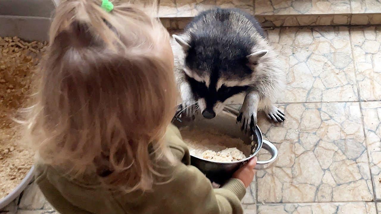ЕНОТЫ НЕ ПОДЕЛИЛИ КАШУ / Ребенок кормит лису, сервала и енотов / Алиса пугается собак