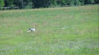"American Staffordshire Terrier ""shade"" Running Akc Coursing Ability Test"