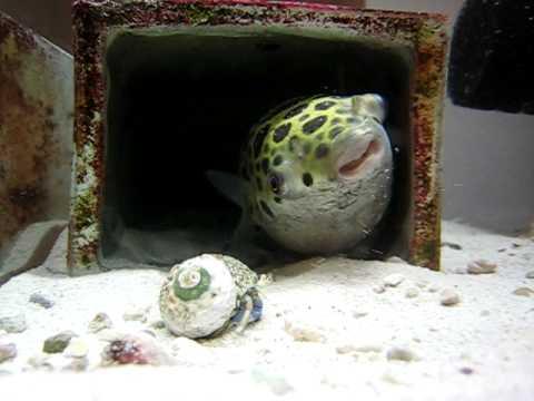 ミドリフグ*8 (Green Spotted Puffer )
