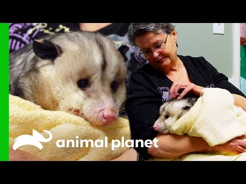 Hook The Opossum Needs To Move To A New Home | Dr. Jeff: Rocky Mountain Vet