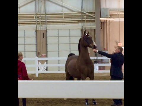 Equine Affaire 2015 - Morgan Horse Exhibition