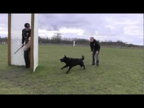 Trained German Shepherd Practical Protection IPO
