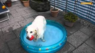 Golden Retriever Pepper Und Die Krake - Hundstage