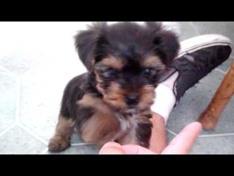 My new Yorkshire terrier puppy!