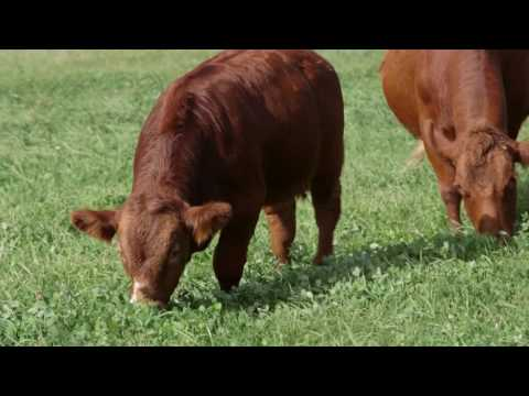 Chateauguay Valley Farm Feature - Beef Production