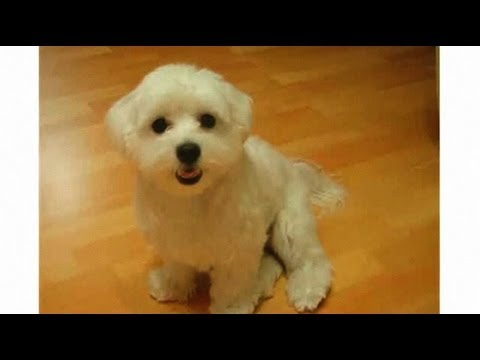 pros-&-cons-of-a-maltese-|-dog-breeds