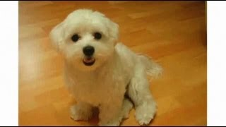 Pros & Cons Of A Maltese | Dog Breeds