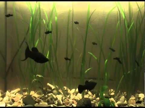 Рыбки Моллинезии самец и самка, мальки. Основное различие