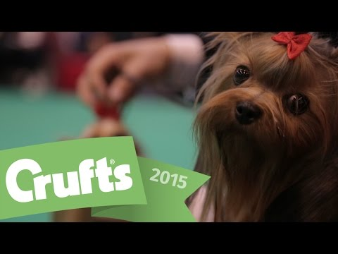 Best of Breed - Yorkshire Terrier and winner's interview | Crufts 2015