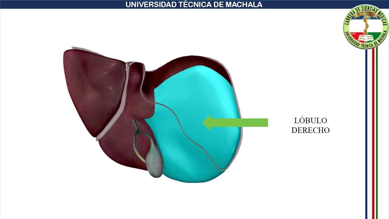 Anatomia Higado y Vias Biliares - YouTube