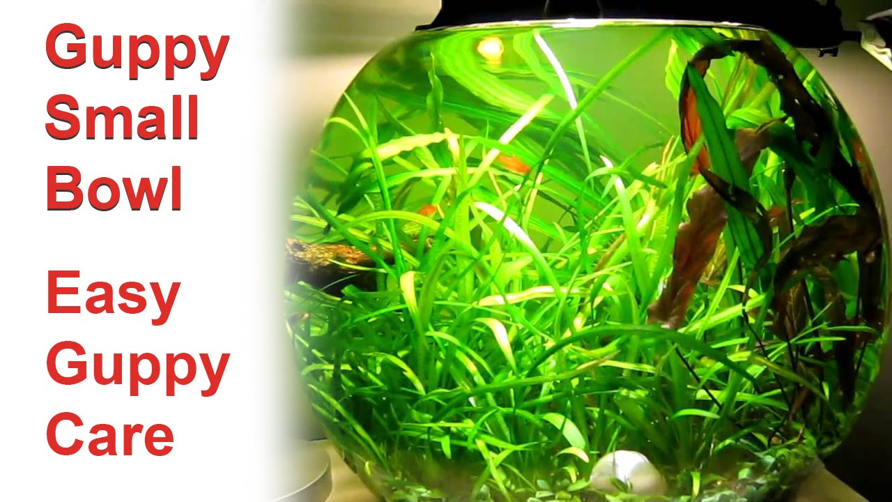 Guppy tank guppy fish bowl setup easy guppy care for Easiest fish to care for in a bowl