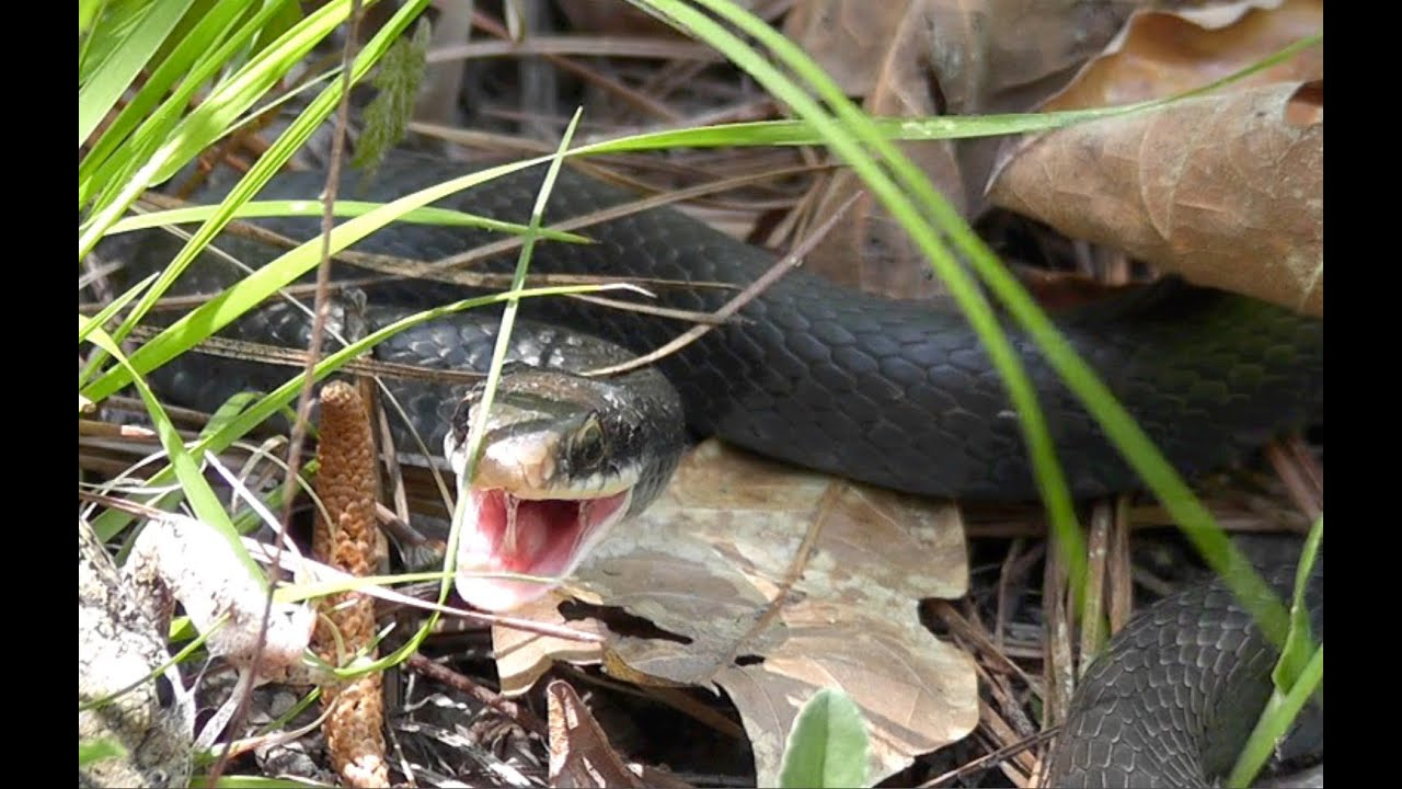 Angry Eastern Black Racer Snake Defends Itself