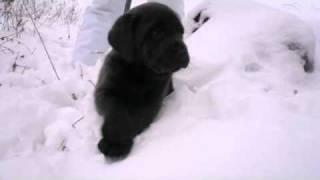 Labrador Retriever Welpen In Witten