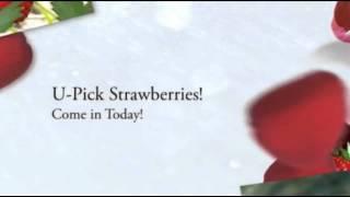 Hood Strawberries Portland Oregon Boones Ferry Berry Farms