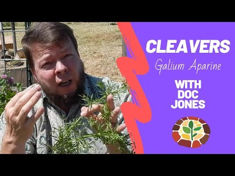 Medicinal Cleavers - Everything You Need To Know!