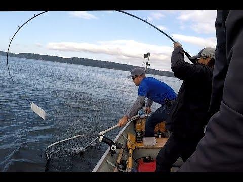 Pink Salmon Trolling Action