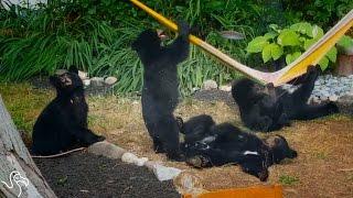Family Of Bears Bond Over A Hammock | The Dodo