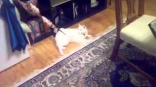 Cat Stuck in Bra(, 2011-12-03T19:56:50.000Z)