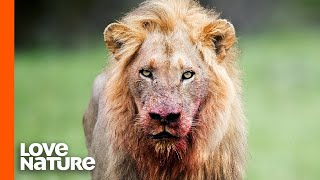 Big Cats Have Eyes Designed For Hunting | Lions, Leopards, Tigers