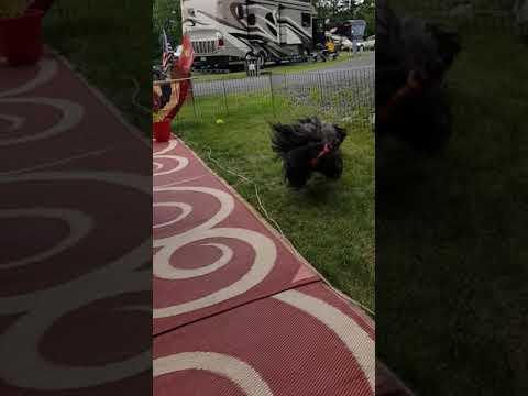 Nelson The Skye Terrier- playtime