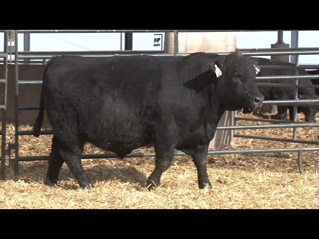Schiefelbein Angus Farms Lot 16