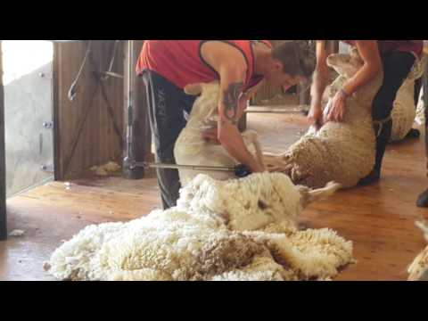 Shearing in Queensland Ray Station 2017