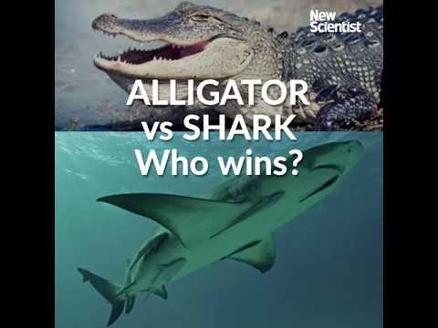 Alligator vs shark