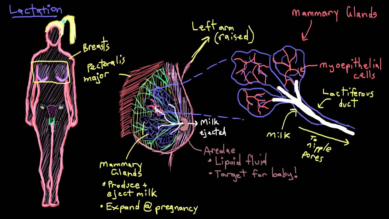 Khan Academy - Breast Anatomy and Lactation - YouTube