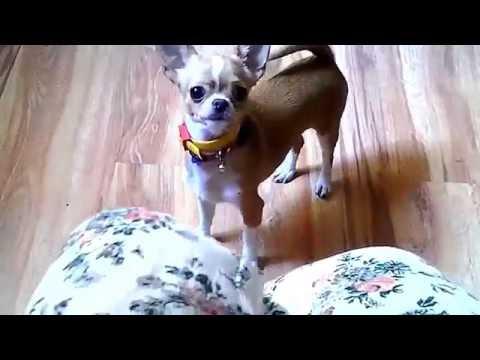 Chihuahua poil longиз YouTube · Длительность: 4 мин32 с  · Просмотры: более 57000 · отправлено: 23.03.2012 · кем отправлено: Elevage de petits chiens ACS