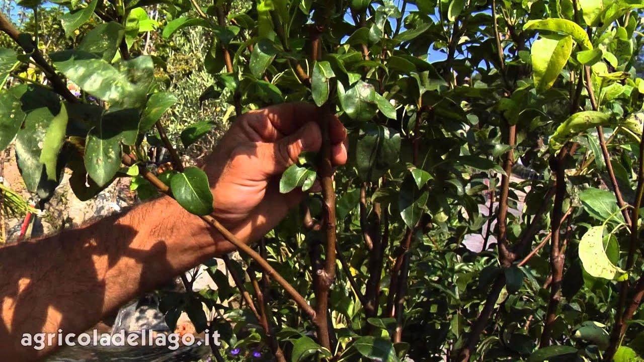Come potare gli alberi da frutto youtube for Potatura alberi da frutto