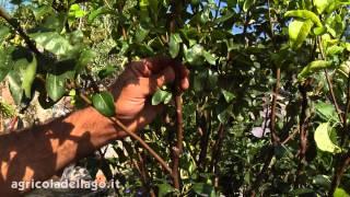 Come potare gli alberi da frutto