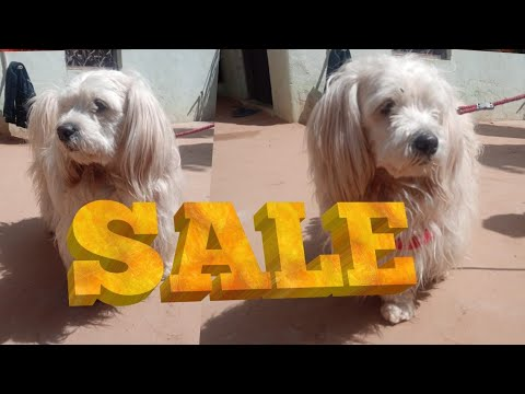 Toy breed dog for sale