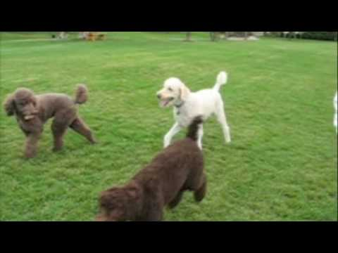 Gus Attends a Standard Poodle Birthday Party