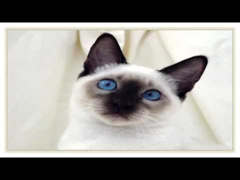 4 Most Popular Cat Breeds as of OCT 2015
