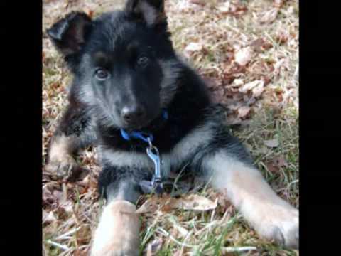 German Shepherd Rescue New York Youtube