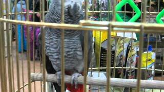Серый попугай ЖАКО краснохвостый. Серый попугай с красным коротким хвостом