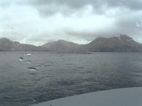 Whiskered Auklets, Adak, Alaska