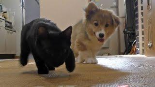 Roku & Kuro Chase Laser / レーザーポインターを追うロクさんとクロさん 20150726 Welsh Corgi Puppy Kitten 子犬 子猫 Dog Cat