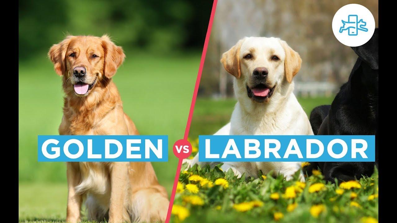 Diferencias Entre El Golden Y El Labrador Youtube