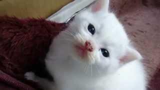 毛玉のような白い子猫ちゃん white little cat such as the pill