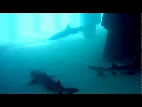 Whitetip Reef Sharks resting Midway Atoll Cargo Pier