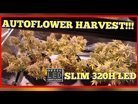 Autoflower Harvest Day for Auto Gelato Slim 320H Grow