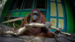 Орангутан с пилой.