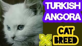 Turkish Angora Cat Breed   Cats of Turkey