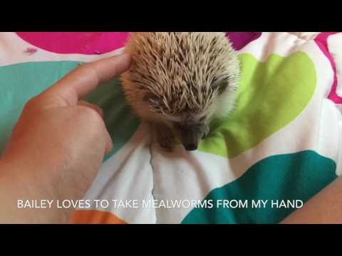 My daily routine for my pet hedgehog