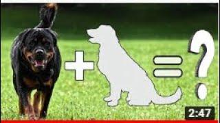 Chó Rottweiler lai tạo với các dòng chó khác thì rą con gì nhỉ? Mix Rottweiler with other dogs