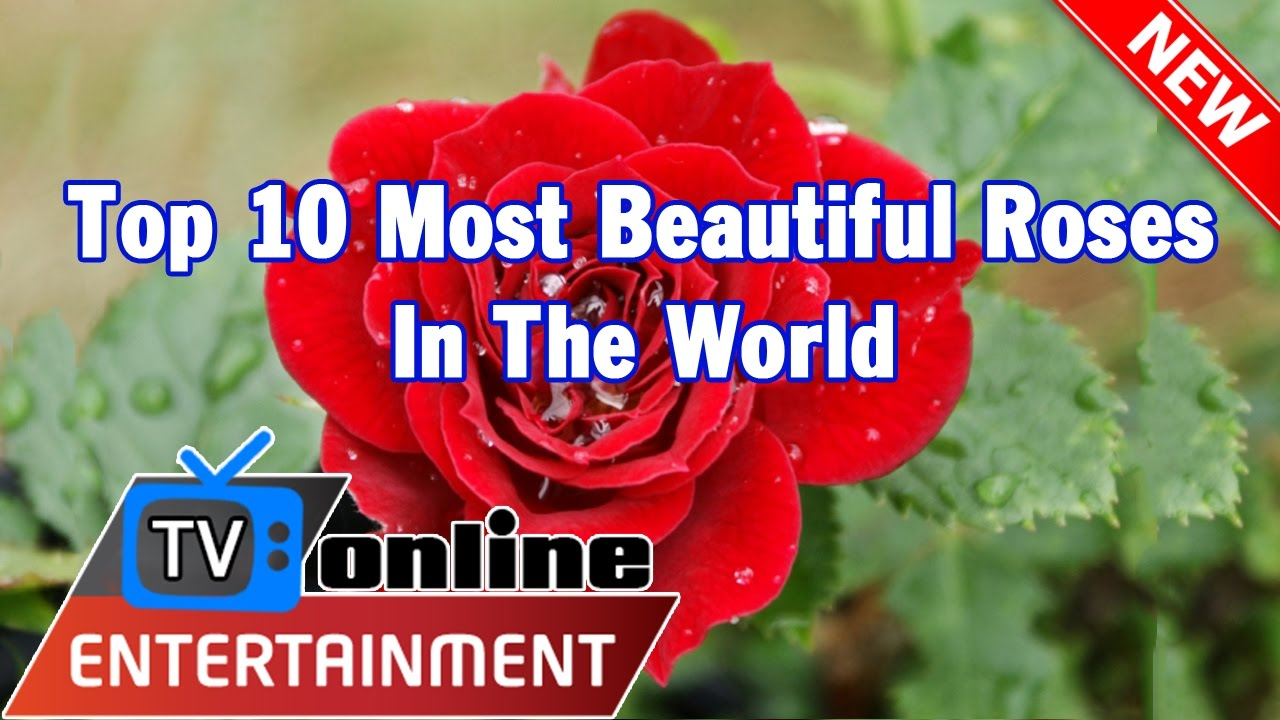 Most Beautiful Rose Gardens In The World top 10 most beautiful roses in the world - youtube