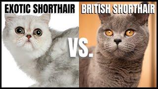 Exotic Cat VS. British Shorthair Cat