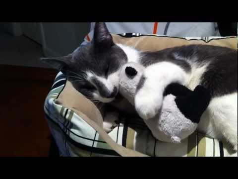 My Cat Meowing and Playing with his Toy Panda then Falls Asleep